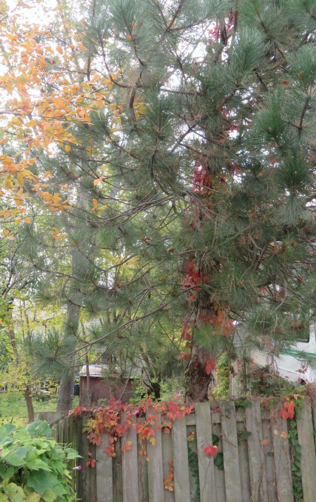 Garden Tree with Vine
