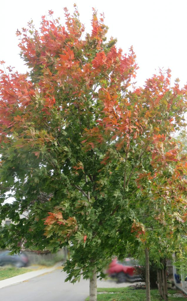 Maple Tree Changing